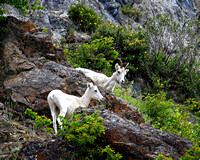 Dall Sheep - Mt. Goats